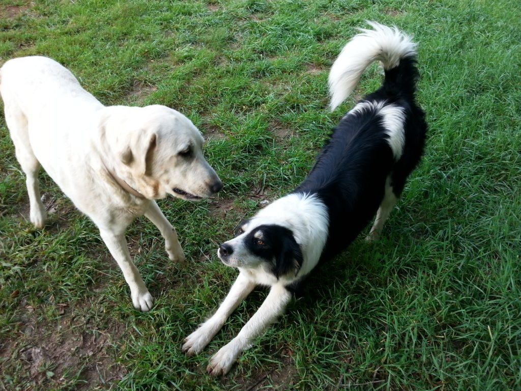 "Our 2 farm dogs - Jenny and ""New Dog"""