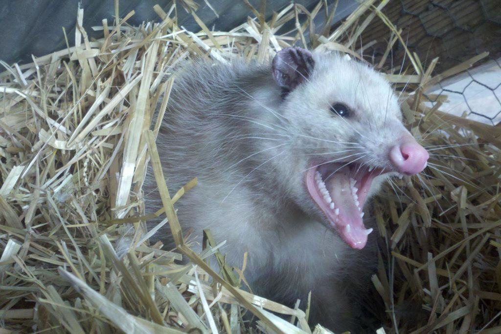 17 Things to Do With That Dead Possum in the Road