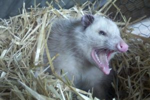 What to Do With That Dead Possum in the Road! In case you've always wondered how you could use a dead possum, I've come up with some great ideas for you that you're going to love!! And if you can't use that possum, be sure to offer it to your neighbor or fellow homesteader. I guarantee this will be right up their alley!