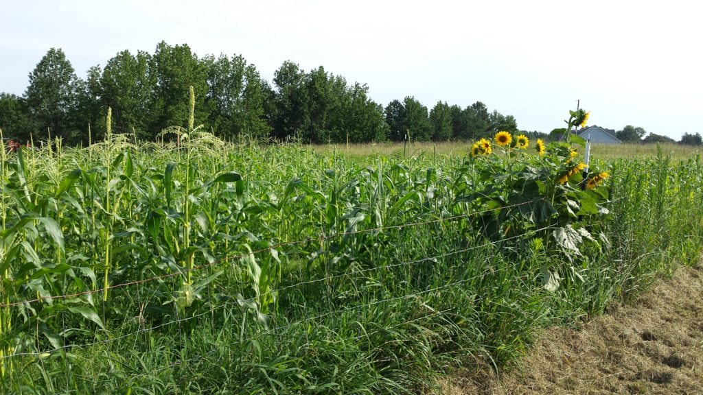 What's Growing on Burton Farm in 2017? Blackberries, Desi Squash, Moon and Stars Melon, Peaches and cream corn, ten varieties of tomatoes, all kinds of peppers, sunflowers, zucchini, red carrots, and the pear trees are already bent over from the weight. Come see what's growing at http://owningburtonfarm.com/